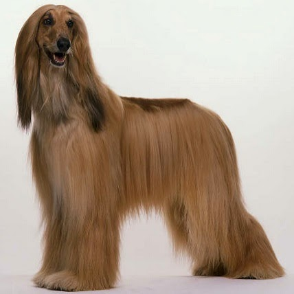 These Five Amazing Long-Haired Dog Breeds